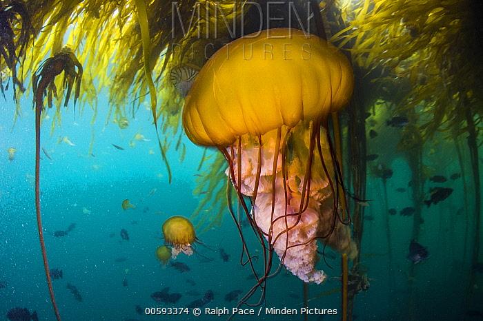 Pacific Sea Nettle (Chrysaora fuscescens) jellyfish in kelp forest, Monterey Bay, California