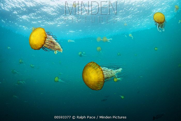Pacific Sea Nettle (Chrysaora fuscescens) jellyfish, Monterey Bay, California
