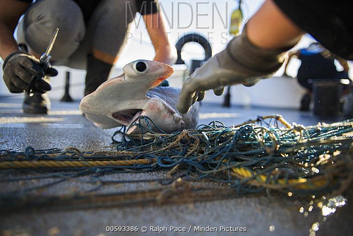 Smooth Hammerhead Shark (Sphyrna zygaena) juvenile caught as bycatch, Sea of Cortez, Mexico