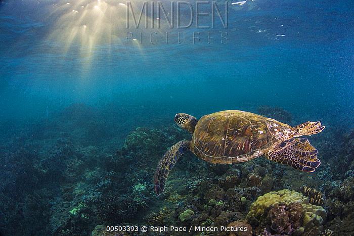 Green Sea Turtle (Chelonia mydas), Maui, Hawaii