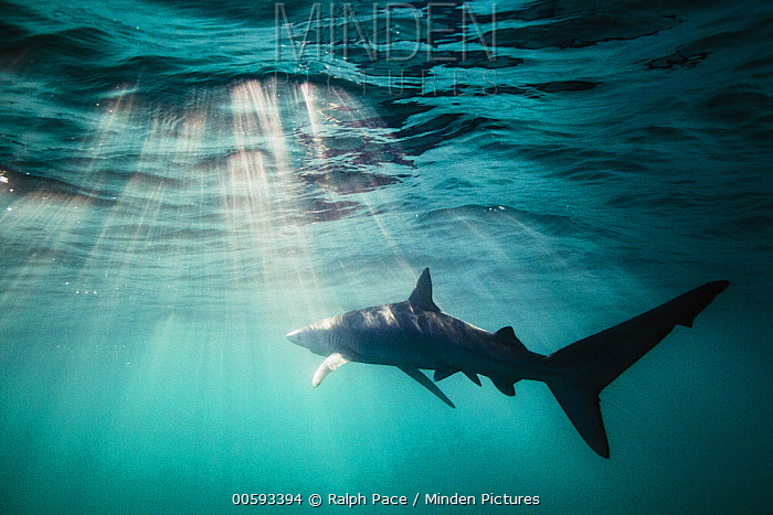 Blue Shark (Prionace glauca), San Diego, California