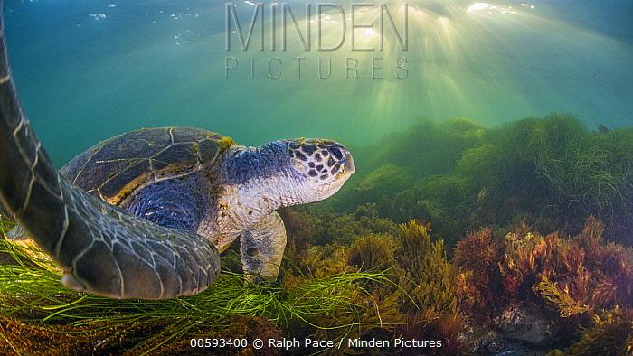 Green Sea Turtle (Chelonia mydas), San Diego, California