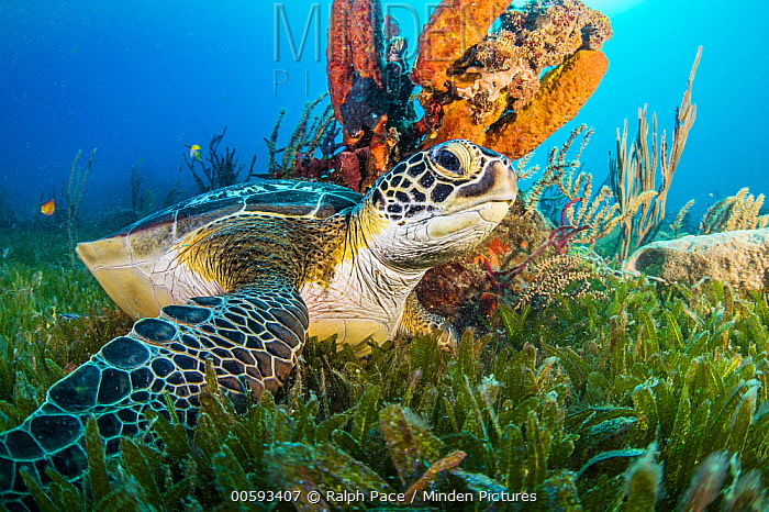 Green Sea Turtle (Chelonia mydas), Caribbean