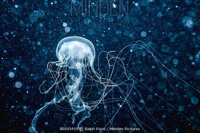 Sea Nettle (Chrysaora quinquecirrha) jellyfish, Saba Bank, Caribbean