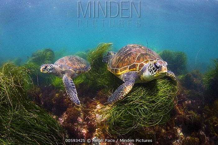 Green Sea Turtle (Chelonia mydas) pair, San Diego, California