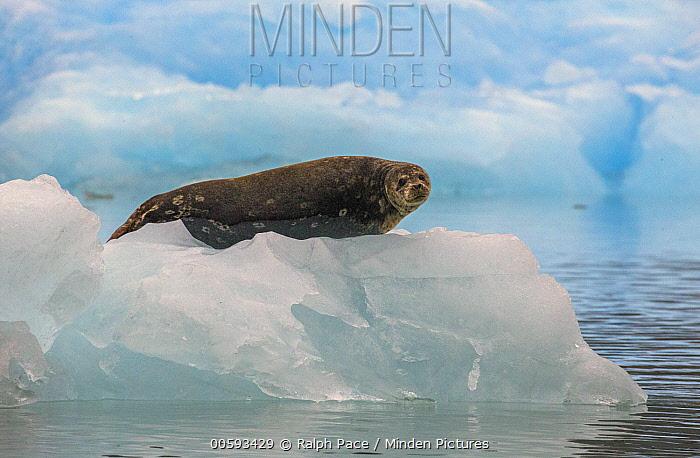 Harbor Seal (Phoca vitulina) on ice floe, Alaska