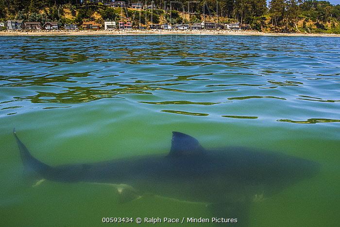 Great White Shark (Carcharodon carcharias) juvenile near coast, Capitola, California