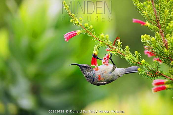 Greater Double-collared Sunbird (Nectarinia afra) feeding on flower nectar, Garden Route National Park, South Africa