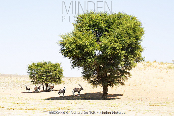 Oryx (Oryx gazella) herd in shade in desert, Kgalagadi Transfrontier Park, South Africa