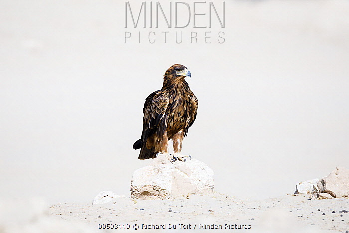 Tawny Eagle (Aquila rapax) in desert, Kgalagadi Transfrontier Park, South Africa