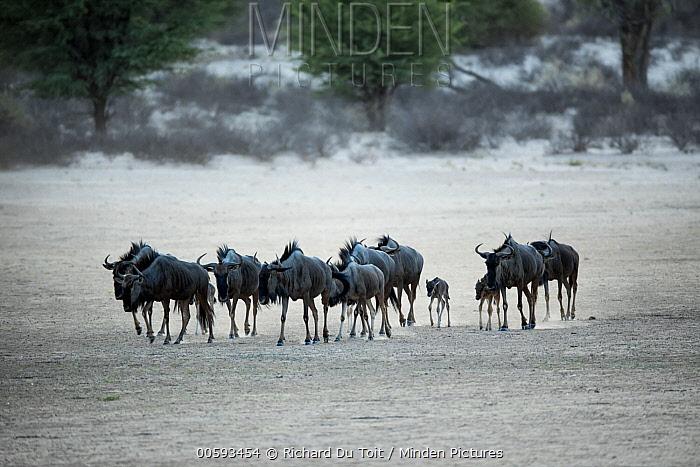 Blue Wildebeest (Connochaetes taurinus) herd with newborn calf, Kgalagadi Transfrontier Park, South Africa