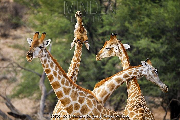 Northern Giraffe (Giraffa camelopardalis) males necking, Kgalagadi Transfrontier Park, South Africa