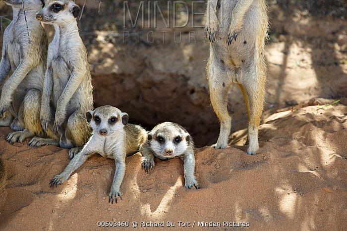 Meerkat (Suricata suricatta) group at burrow, Kgalagadi Transfrontier Park, South Africa