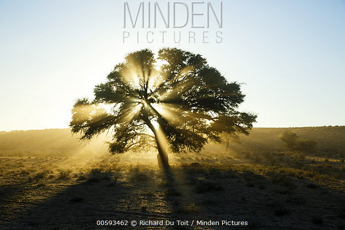 Acacia (Acacia sp) tree, Kgalagadi Transfrontier Park, South Africa