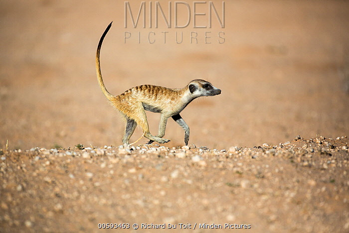 Meerkat (Suricata suricatta) running, Kgalagadi Transfrontier Park, South Africa