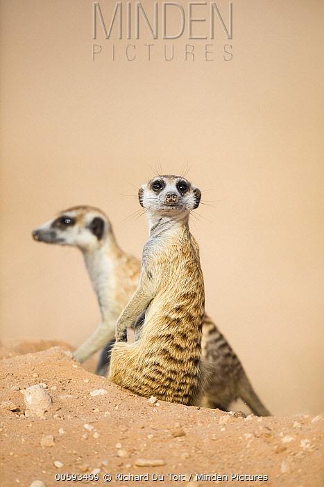 Meerkat (Suricata suricatta) pair, Kgalagadi Transfrontier Park, South Africa