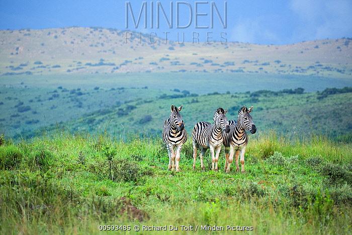 Burchell's Zebra (Equus burchellii) trio in grassland, Itala Game Reserve, KwaZulu-Natal, South Africa