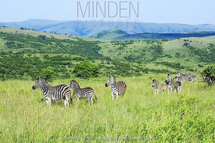 Burchell's Zebra (Equus burchellii) herd in grassland, Itala Game Reserve, KwaZulu-Natal, South Africa