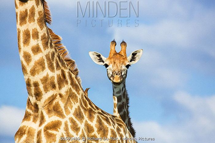 Northern Giraffe (Giraffa camelopardalis) with Red-billed Oxpecker (Buphagus erythrorhynchus), Itala Game Reserve, KwaZulu-Natal, South Africa