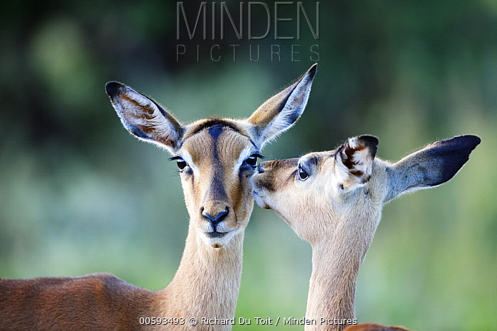 Impala (Aepyceros melampus) calf grooming mother, Itala Game Reserve, KwaZulu-Natal, South Africa