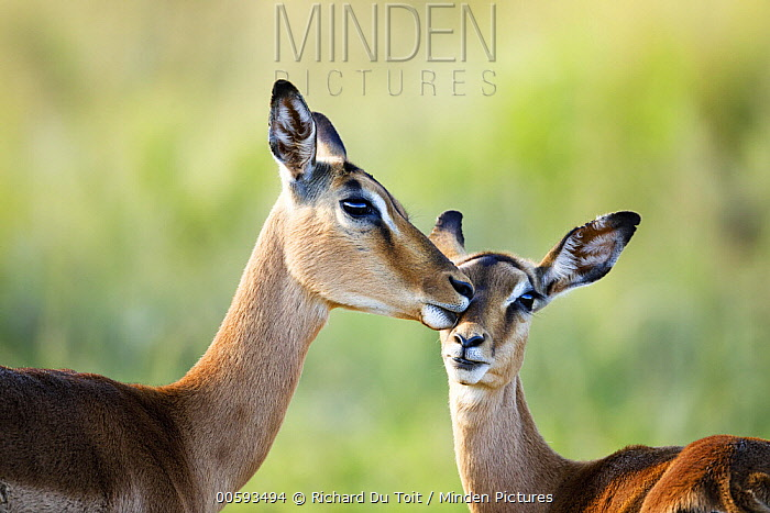 Impala (Aepyceros melampus) mother grooming calf, Itala Game Reserve, KwaZulu-Natal, South Africa