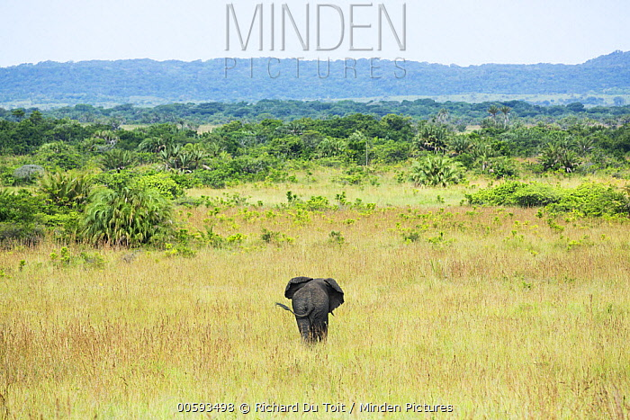African Elephant (Loxodonta africana) in savanna, iSimangaliso Wetland Park, KwaZulu-Natal, South Africa