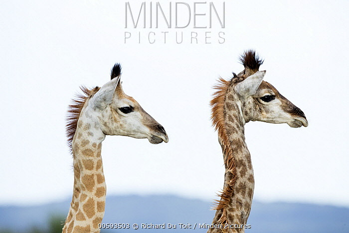Northern Giraffe (Giraffa camelopardalis) calves, iSimangaliso Wetland Park, KwaZulu-Natal, South Africa