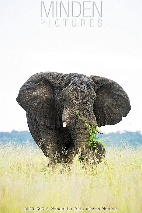 African Elephant (Loxodonta africana) grazing, iSimangaliso Wetland Park, KwaZulu-Natal, South Africa