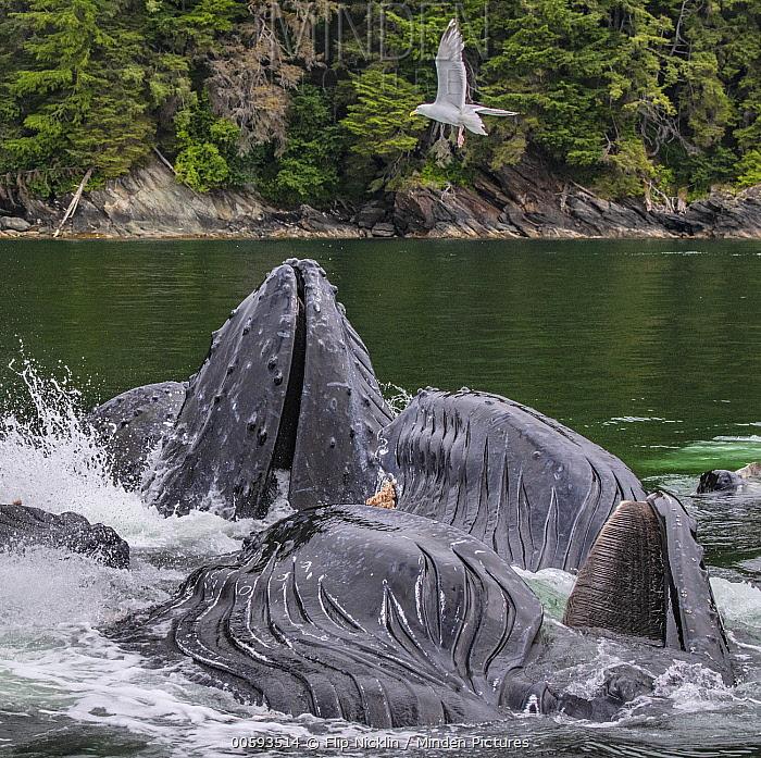 Humpback Whale (Megaptera novaeangliae) group gulp feeding, Admiralty Island, Alaska