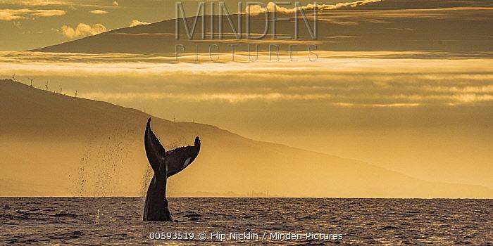 Humpback Whale (Megaptera novaeangliae) tail slapping at sunrise, Lahaina, Maui, Hawaii