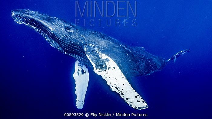 Humpback Whale (Megaptera novaeangliae), Maui, Hawaii