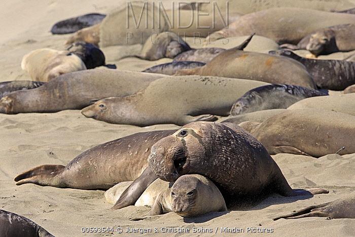 Northern Elephant Seal (Mirounga angustirostris) male courting female, Piedras Blancas, California
