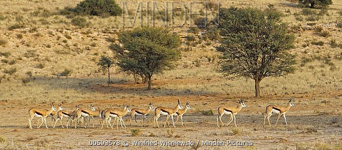 Springbok (Antidorcas marsupialis) females, Kgalagadi Transfrontier Park, South Africa