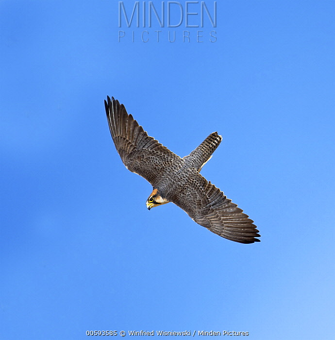 Lanner Falcon (Falco biarmicus) flying, Kgalagadi Transfrontier Park, South Africa