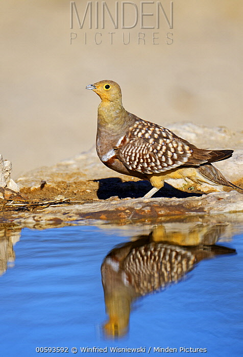 Namaqua Sandgrouse (Pterocles namaqua) male at waterhole, Kgalagadi Transfrontier Park, South Africa