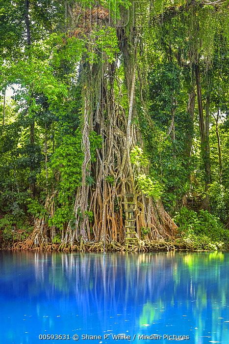 Small-leaved Fig (Ficus obliqua) trees along freshwater spring, Matevulu Blue Hole, Espiritu Santo, Vanuatu