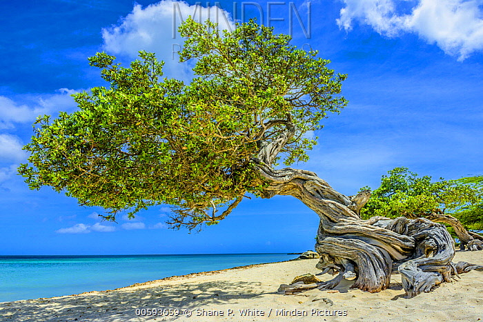 Divi-divi Tree (Caesalpinia coriaria), on beach, Aruba, Caribbean