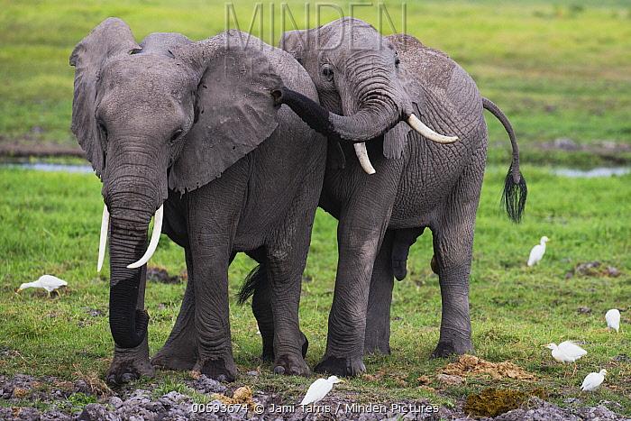 African Elephant (Loxodonta africana) sub-adults playing, Amboseli National Park, Kenya