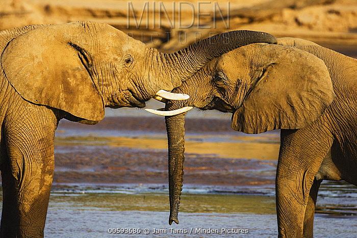 African Elephant (Loxodonta africana) juvenile bulls playing, Samburu-Isiolo Game Reserve, Kenya