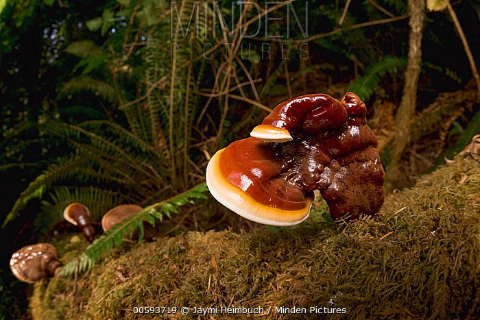 Reishi Mushroom (Ganoderma lucidum), used in traditional Chinese medicine, Oregon