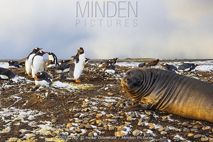 Gentoo Penguin (Pygoscelis papua) nesting colony and young Southern Elephant Seal (Mirounga leonina), Falkland Islands