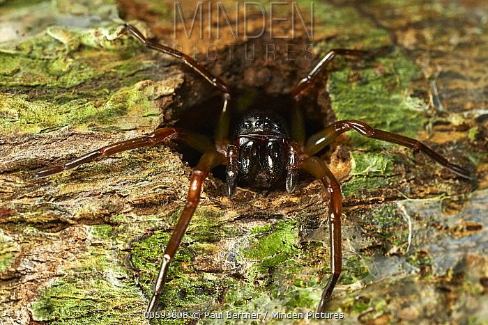 Corinnid Sac Spider (Corinnidae) in cavity, Tambopata Research Center, Peru