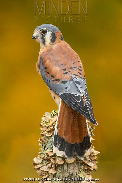 American Kestrel (Falco sparverius), native to North America