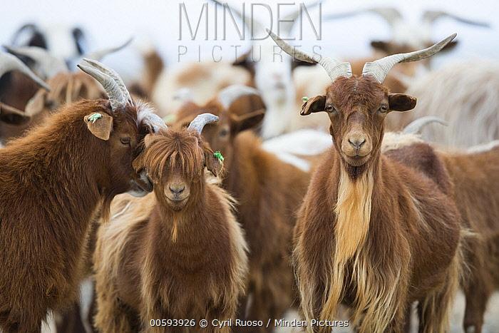 Cashmere Goat (Capra hircus) herd, Gobi Desert, Mongolia