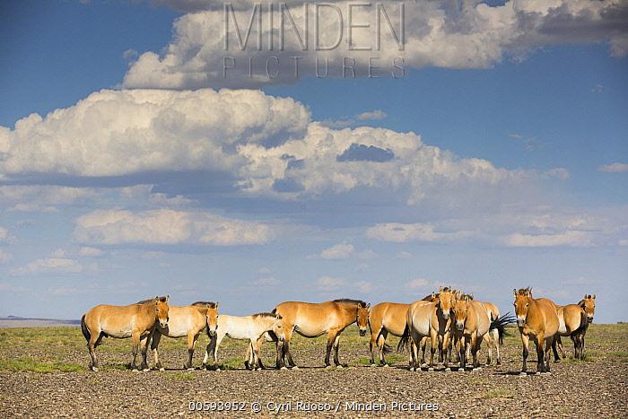 Przewalski's Horse (Equus ferus przewalskii) herd, Gobi Desert, Mongolia
