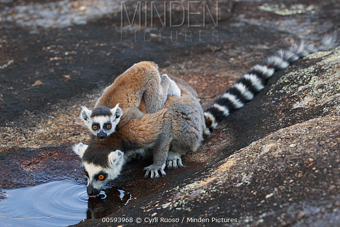 Ring-tailed Lemur (Lemur catta) mother with young drinking, Anja Park, Madagascar