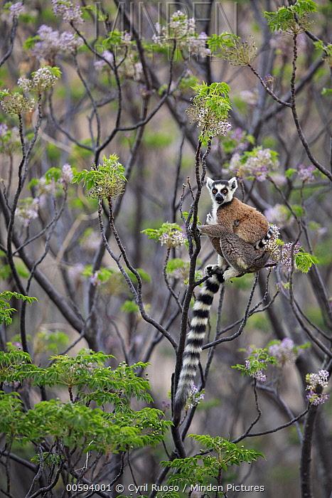 Ring-tailed Lemur (Lemur catta) in tree, Anja Park, Madagascar