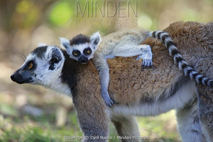 Ring-tailed Lemur (Lemur catta) mother carrying young, Anja Park, Madagascar