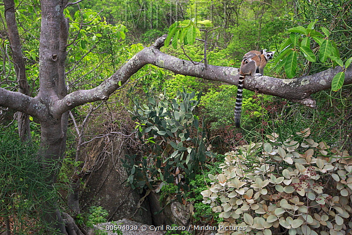 Ring-tailed Lemur (Lemur catta) mother and young in tree, Anja Park, Madagascar