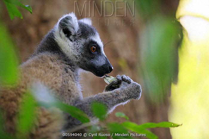 Ring-tailed Lemur (Lemur catta) feeding on cicada prey, Berenty, Madagascar
